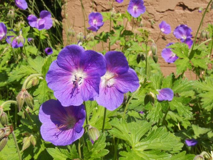 siniset-kukat-025